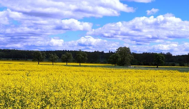 Yellow flowers, blue skies & clouds